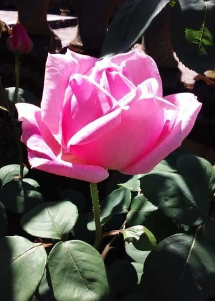 Adopt-A-Rose at Peninsula Park Rose Garden