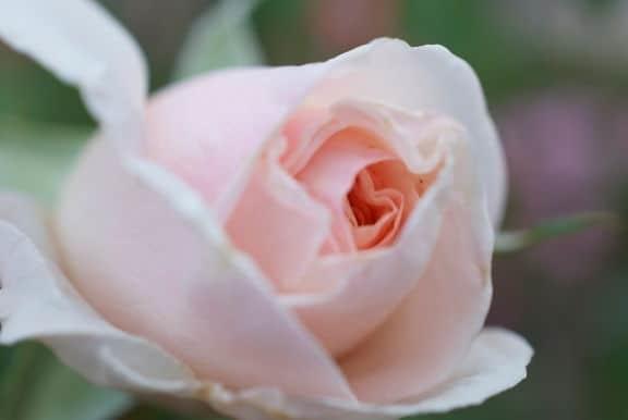Francis Meilland rose