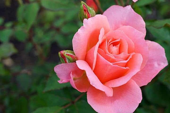 Pink rose in Peninsula Park Rose Garden