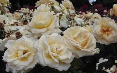 What's the best time of the year to plant rose bushes?