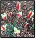 Pollinator Tulips