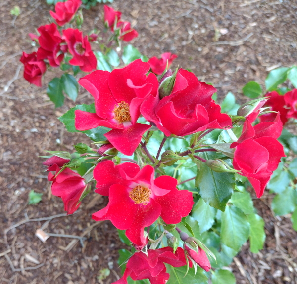 BougainFeelya Rose