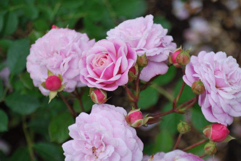 Head Over Heels Rose Image