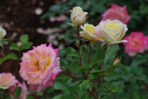 Music Box rose