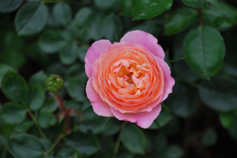Calypso shrub rose
