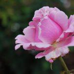 Madame Caroline Testout Rose