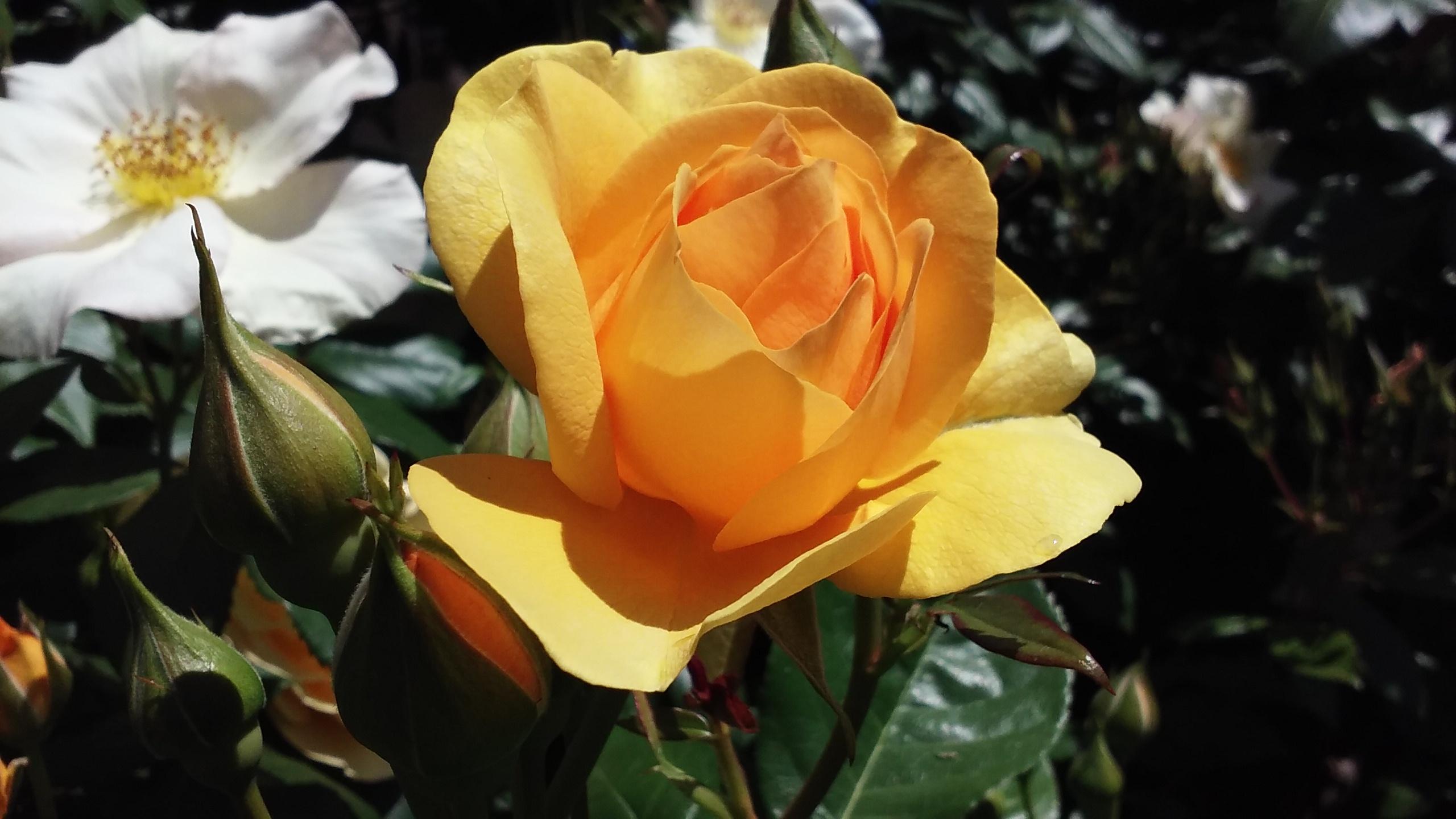 Good as Gold Rose