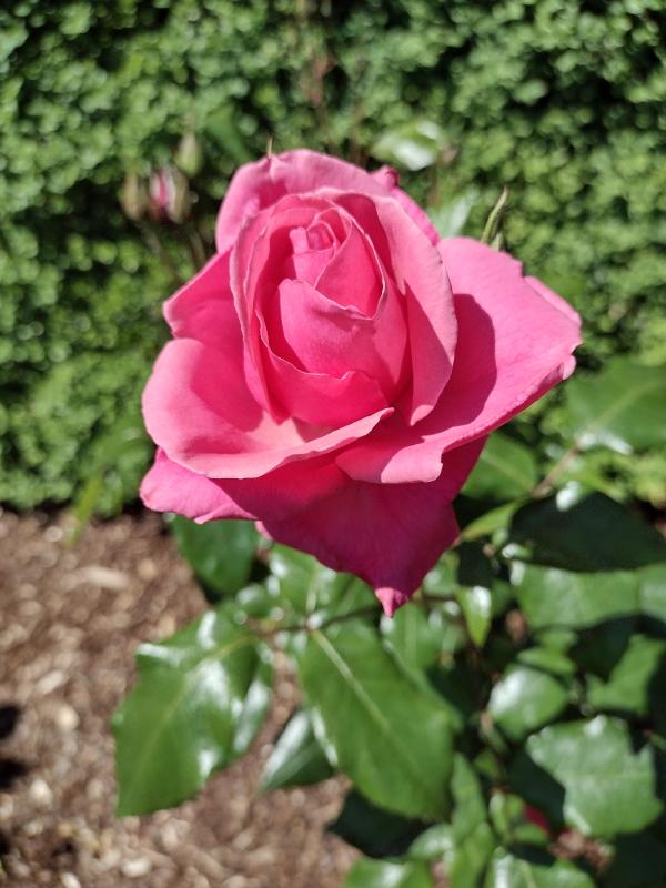 Grandma's Blessing Pink Rose image