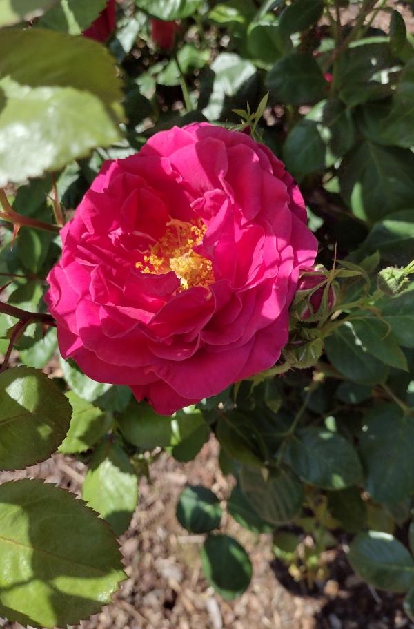 Hot Wonder pink rose in shade image