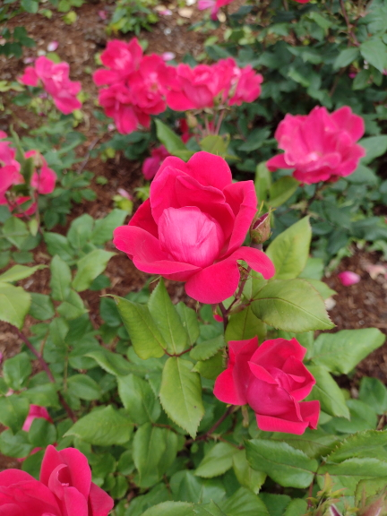 Knock Out rose image