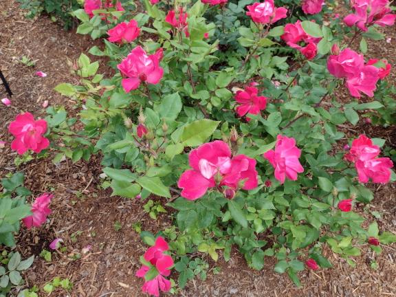 Knock Out shrub rose image