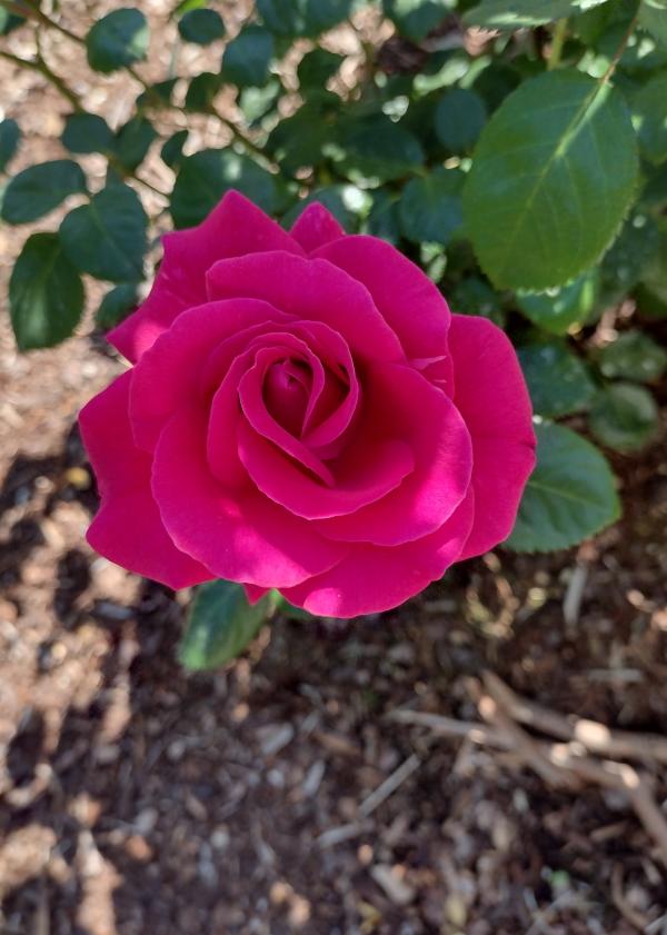 My Girl pinkish red rose image
