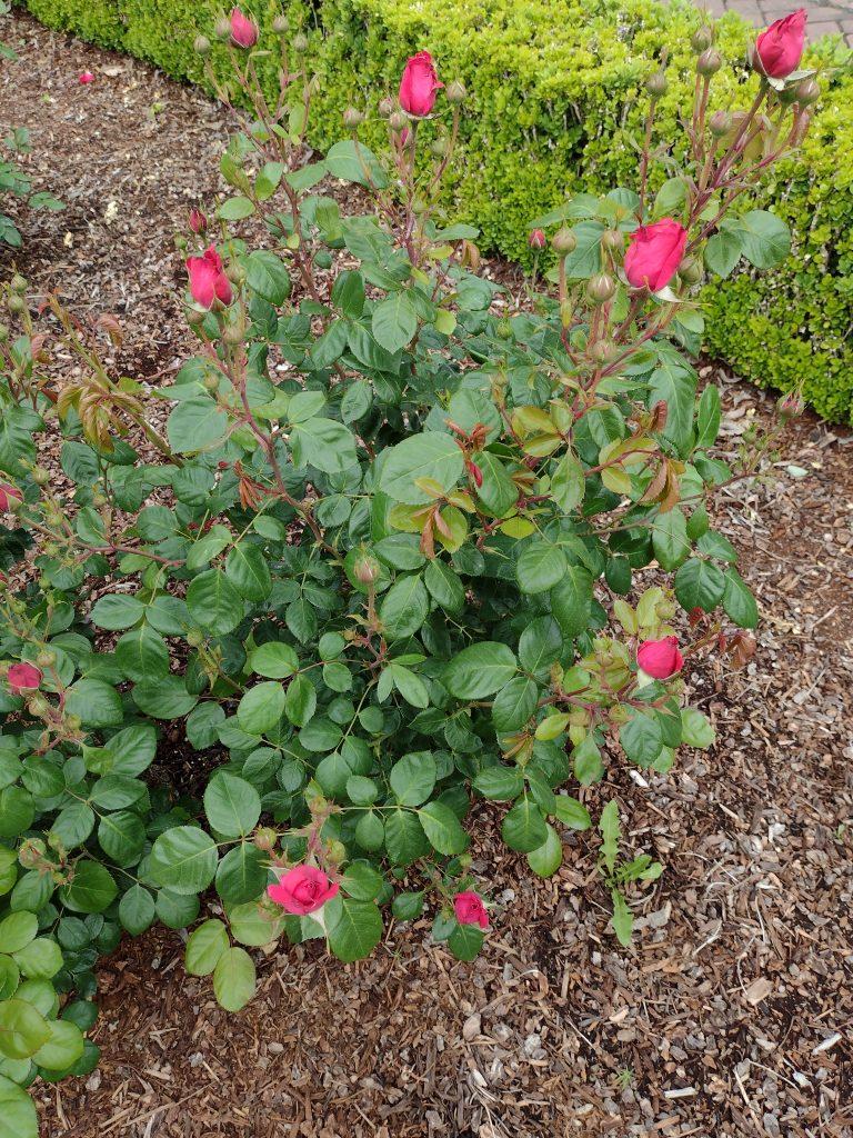 My Girl rose bush image