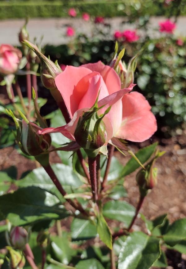 Passionate Kisses Rose Image