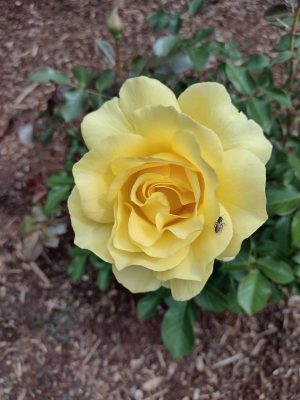 Sparkle & Shine rose image