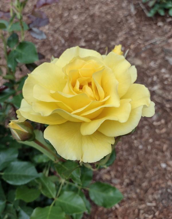 Sparkle & Shine rose