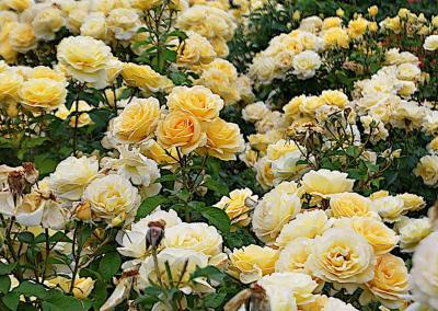 Bed of Sunshine Daydream yellow roses